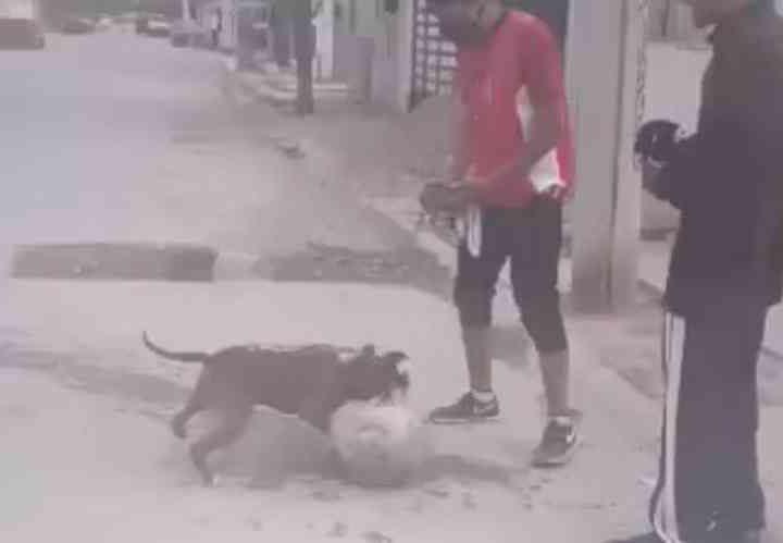 Jovens treinam pit bull para rinhas com cães de rua