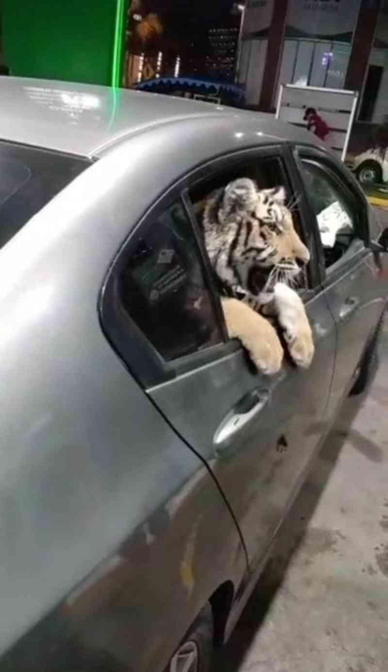 Carro circula com tigre com a cabeça para fora de janela no México; vídeo