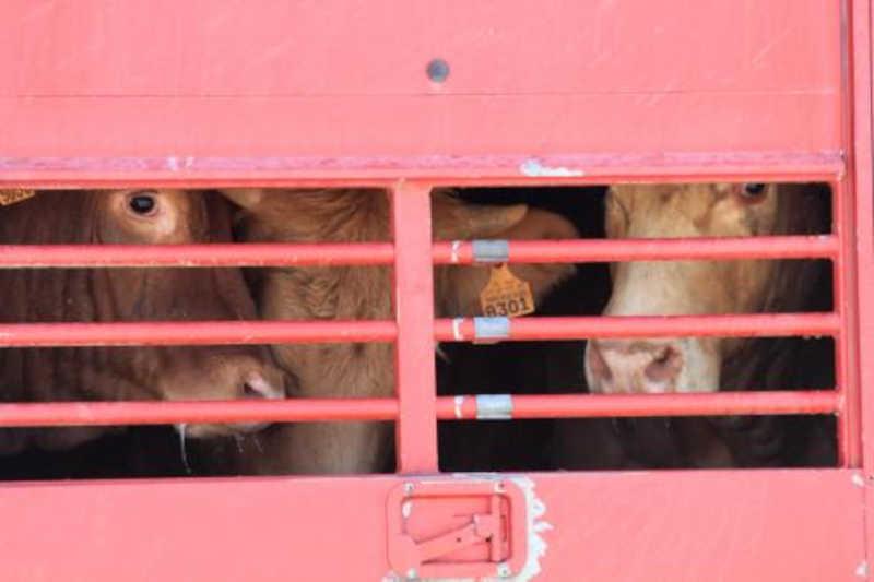 Nova Zelândia proíbe exportação marítima de gado vivo