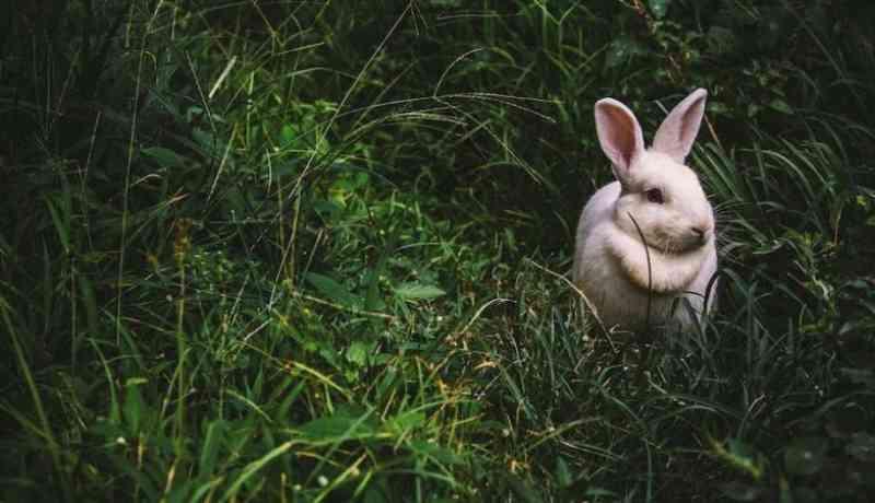 Numa cidade na Nova Zelândia, a Páscoa resume-se a exterminar coelhos