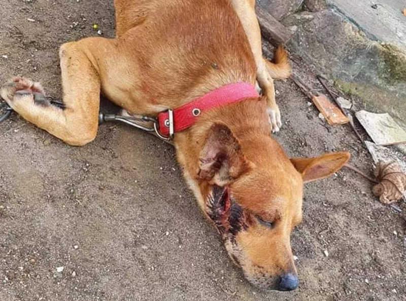 Militar do Exército é investigado por ataque que feriu cachorro a facadas em Belém, PA