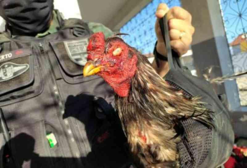 Polícia Militar desarticula rinha de galo e salva mais de 60 animais de maus-tratos em Ingá, PB