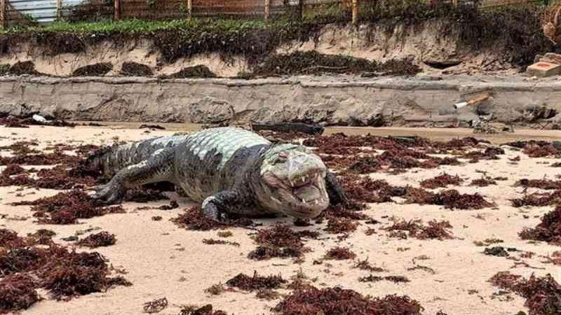 Jacaré é encontrado morto na praia da Penha, em João Pessoa, PB
