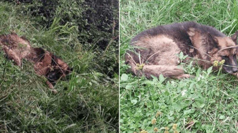 Cachorro é abandonado e atado a uma árvore com as patas fraturadas
