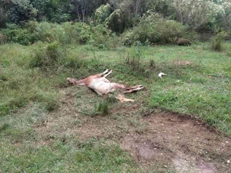Cavalo é abandonado por dois dias agonizando em bairro de Irati, PR