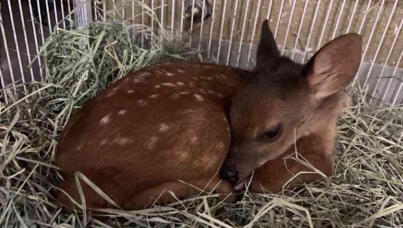 Corça filhote é resgatada com quadro de desnutrição em Jacarezinho, PR