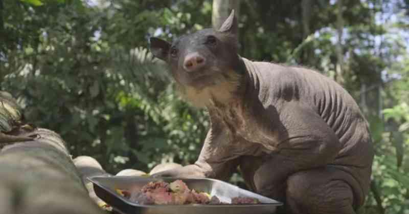 Chega de maus-tratos! Resgatada ursa que teve dentes quebrados e perdeu toda pelagem após 20 anos em circo