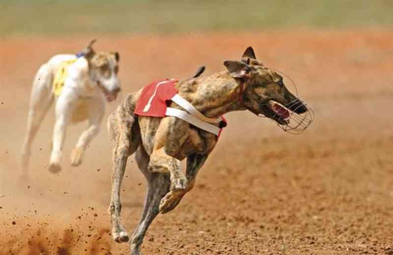 Bloco parlamentar insiste em proibir corridas de cães em Portugal