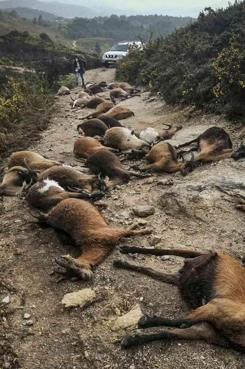 Relâmpago mata 68 cabras em Arcos de Valdevez, Portugal