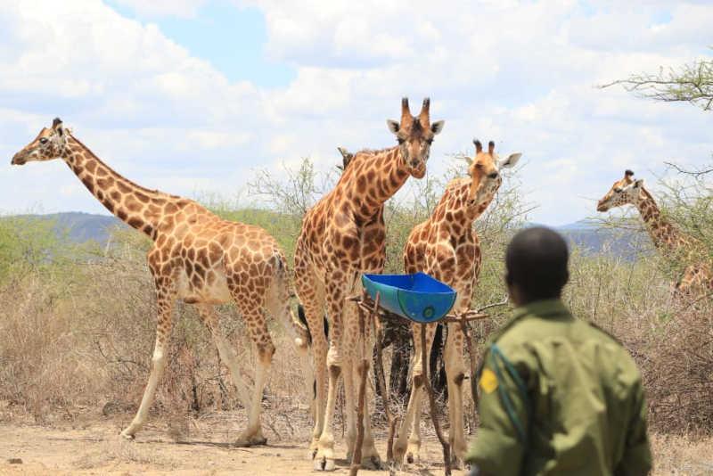 Girafas resgatadas. Imagem: Save the Giraffes