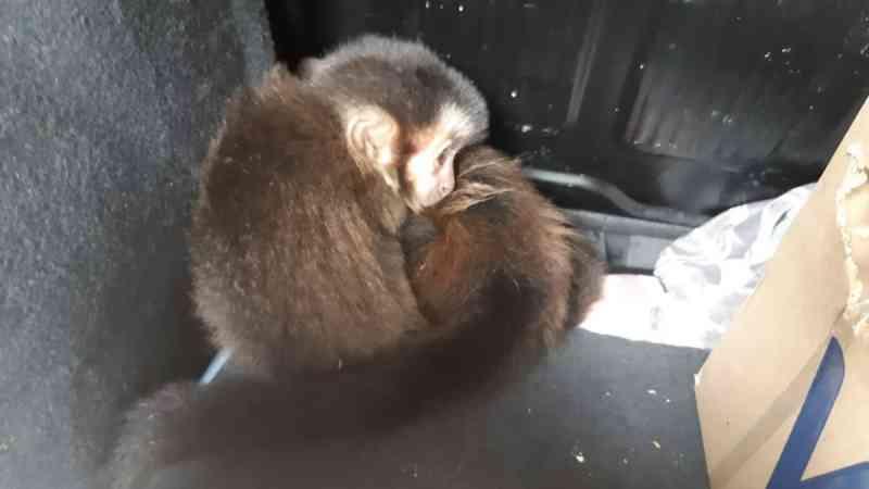 PRF prende homem transportando macacos-prego na Dutra, em Piraí, RJ
