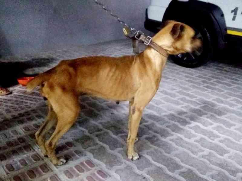 Homem é preso por deixar cachorro sem alimentação e água em Passo Fundo, RS