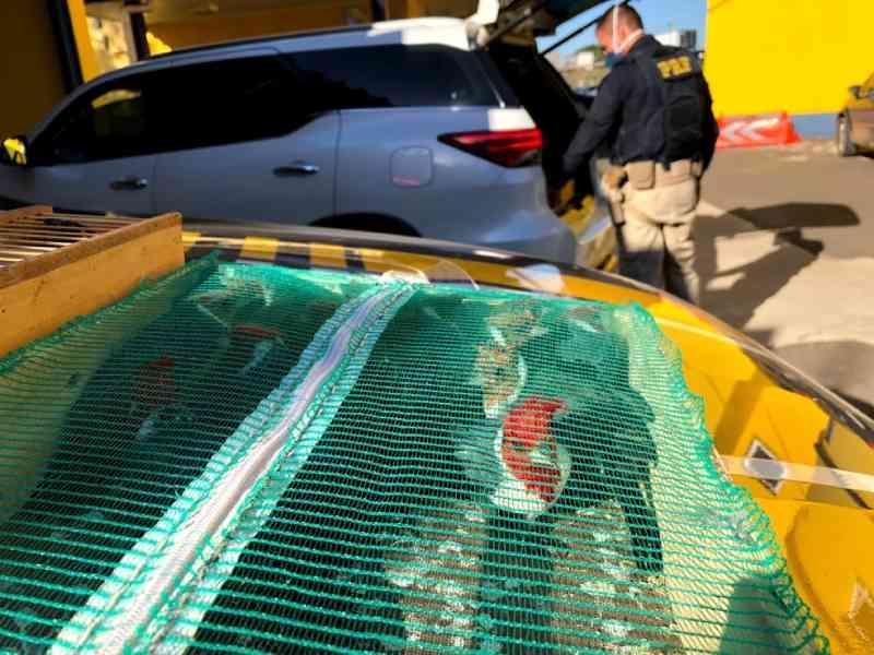 Pai e filho são presos transportando 153 pássaros silvestres em Porto Alegre, diz PRF