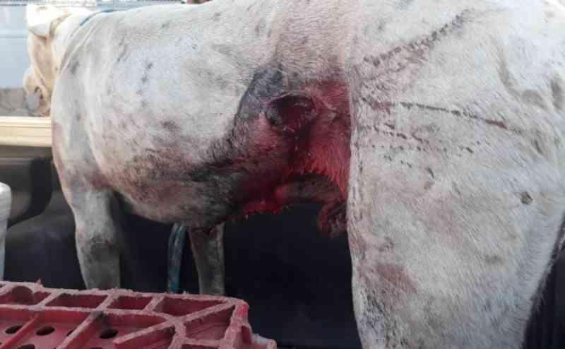 Grupo Rodoviário de Bagé (RS) prende homem por maus-tratos a cão usado em caçadas