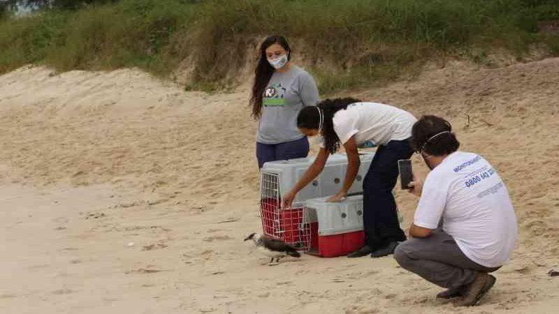 Aves são devolvidas à natureza em praia de Florianópolis, SC