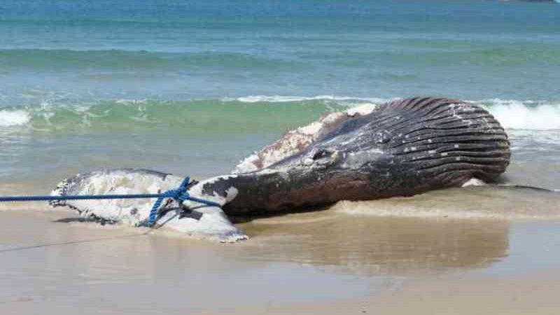 Baleia jubarte de quase 8 metros é encontrada morta na praia do Pântano Sul, em Florianópolis, SC