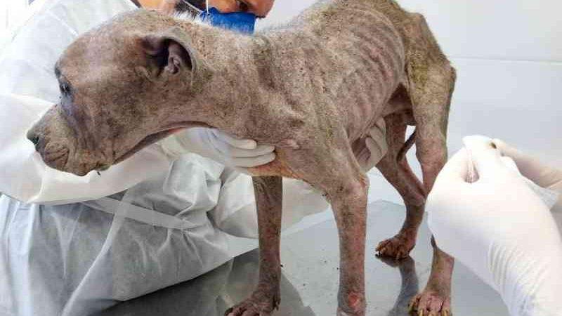 Cão abandonado com problemas de pele em Florianópolis (SC) é resgatado e ganha nome de Valdir