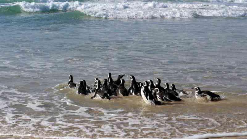 Grupo de pinguins é solto em praia de Florianópolis; fotos