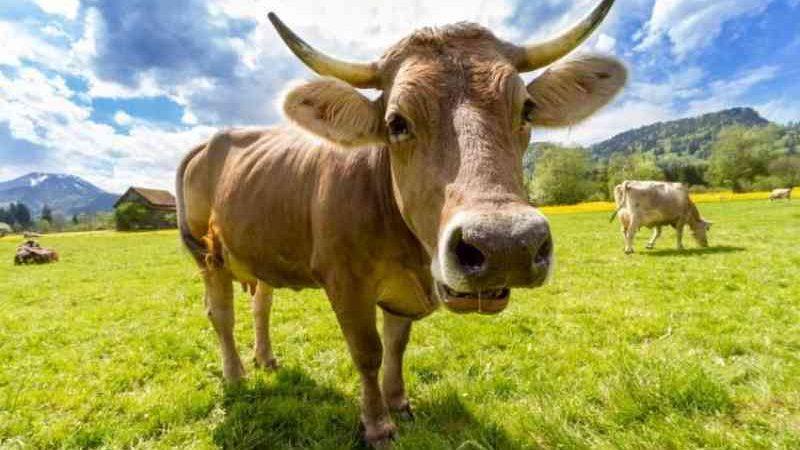 Cabeça de vaca decapitada por sequestradores de gado é encontrada em Tijucas, SC