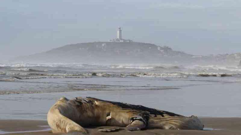 Baleia-jubarte é encontrada morta encalhada em Laguna, SC