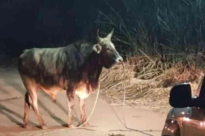 Farra do boi: animal solto em rua é resgatado pela PM Ambiental em SC