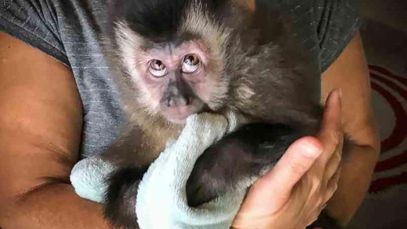 Filhote de macaco-prego é resgatado de cativeiro em Caraguatatuba, SP