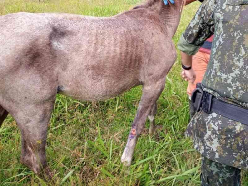 Polícia Ambiental resgata cavalo com pata quebrada em Caraguatatuba, SP