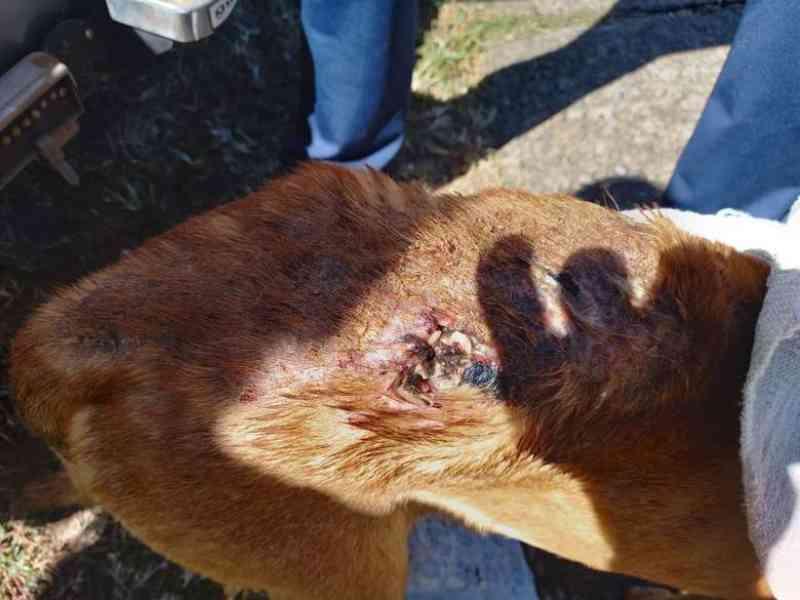 Mulher é detida por maus-tratos a cachorro em Ibaté, SP