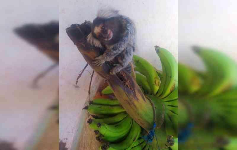 Polícia Ambiental resgata sagui amarrado e em condições de maus-tratos em casa de São Pedro do Turvo, SP