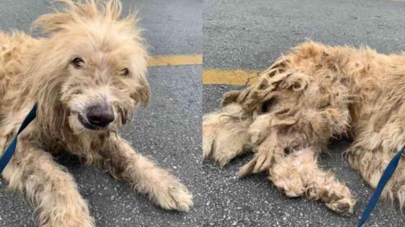 Cão com sinais de maus-tratos é resgatado pela ONG Amora Proteção Animal em Cajamar, SP