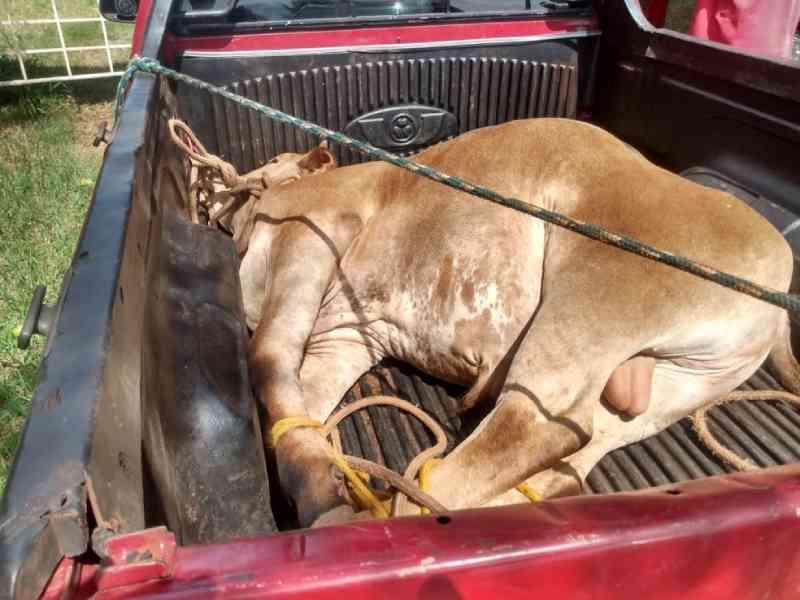 Homem leva multa de R$ 3 mil por transporte de boi amarrado com cordas em carroceria de picape