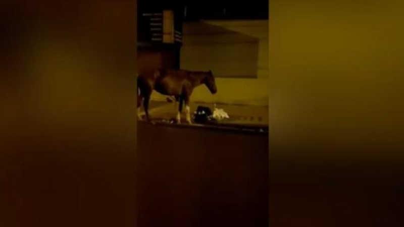 Morador filmou cavalo comendo lixo na noite desta quarta (28), na região Leste de Ribeirão Preto (Imagem: Reprodução / Rede social)
