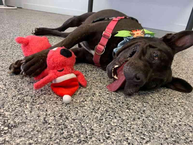 Cachorro que esperou por 667 dias para ser adotado finalmente encontra um novo lar