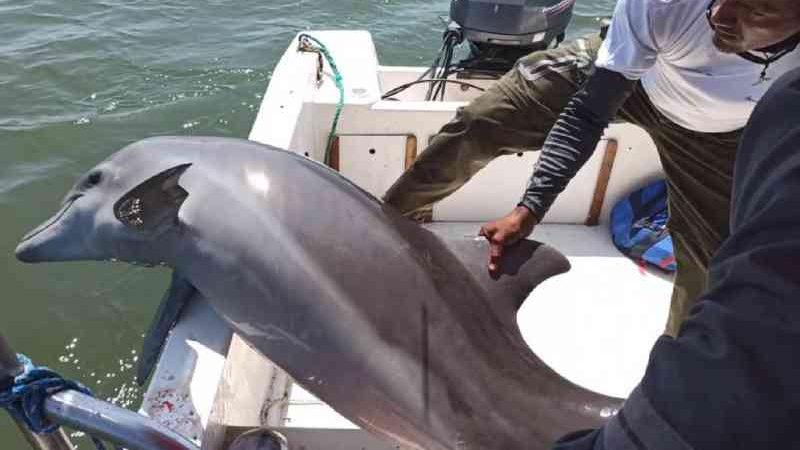Guardas resgatam golfinho ferido em rede de pesca no Equador; veja vídeo