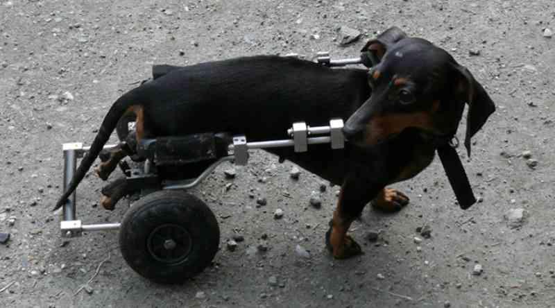 Instituto doa 16 cadeiras de rodas para cães paraplégicos