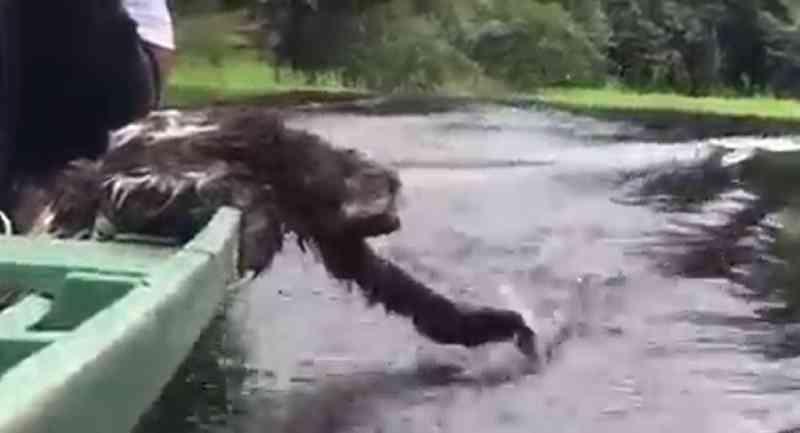 Não é o que parece: vídeo 'fofo' de preguiça em barco na verdade revela animal sob intenso estresse