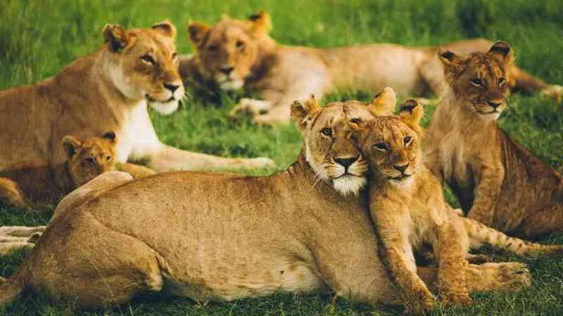 África proíbe leões em cativeiro, mas a notícia não é boa como parece