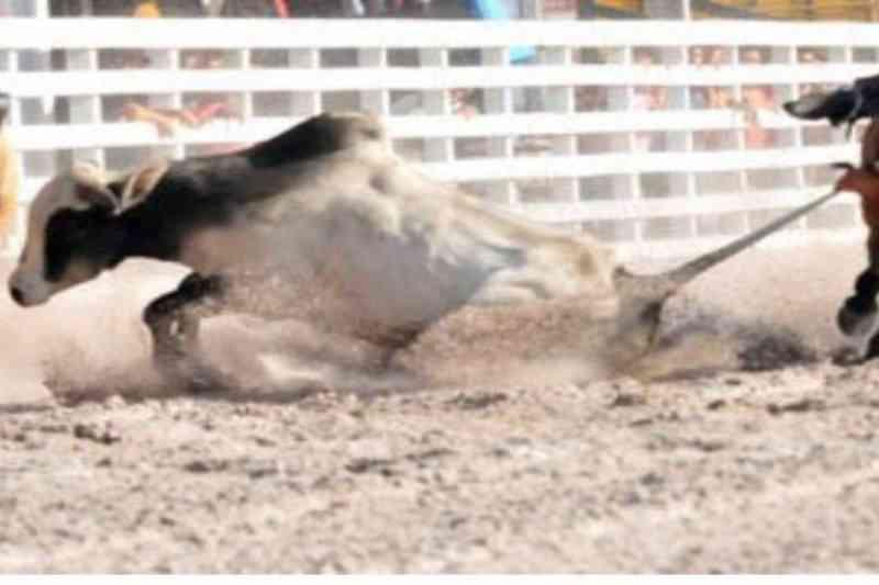Defensores dos animais se mobilizam contra PL que torna vaquejada em esporte