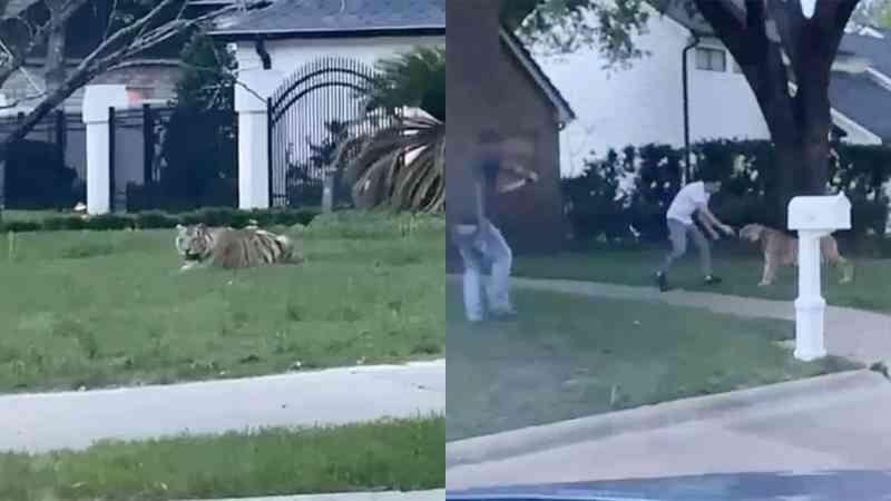 Tigre supostamente criado em casa assusta moradores de Houston (EUA) e está desaparecido