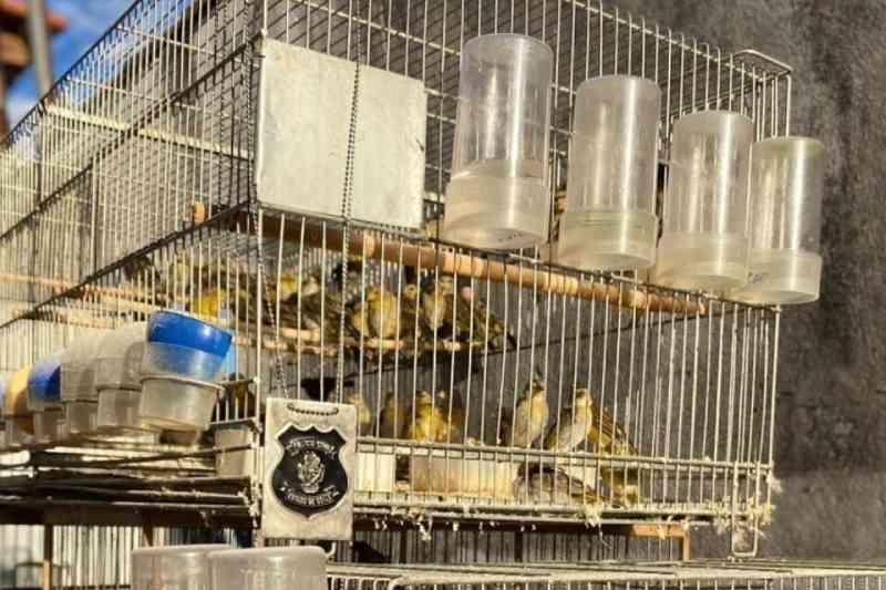Polícia resgata mais de 96 canários mantidos em cativeiro em Catalão, GO