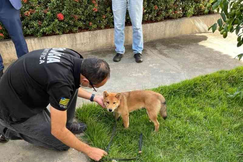 Cachorro que usava coleira de choque para ser adestrado passa por perícia, em Goiânia, GO