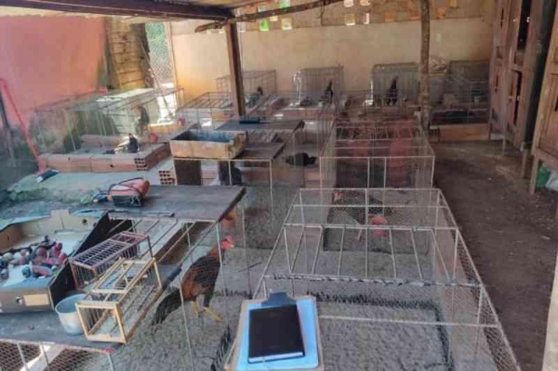 Dupla que preparava galos para rinhas é presa por maus-tratos em GO
