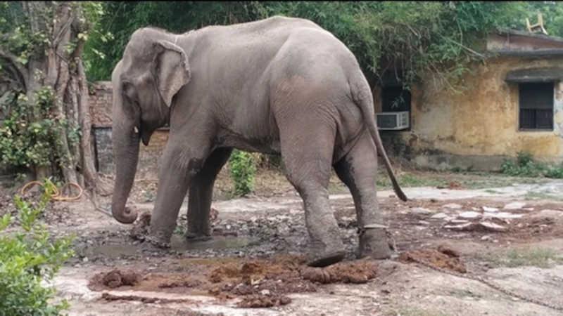 Elefante Mithu vive acorrentado a uma árvore há 18 meses por ser 'prova' de um caso judicial