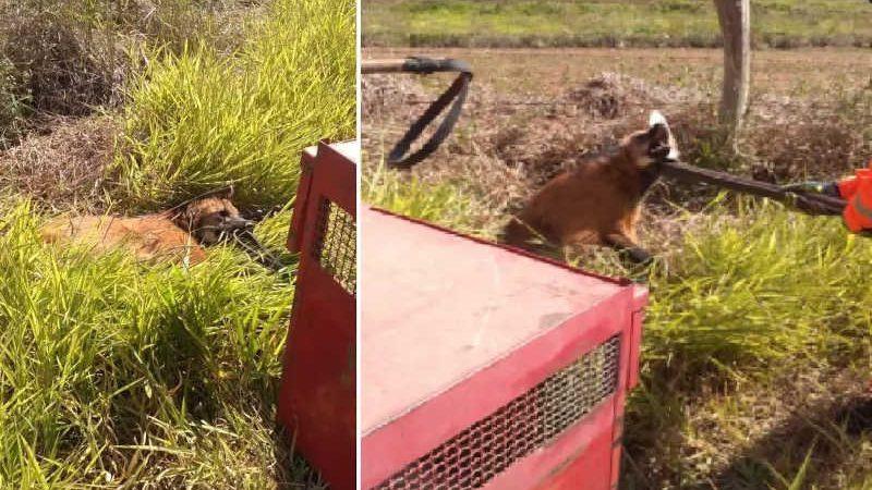 Lobo guará foi resgatado. Foto: Reprodução Bombeiros