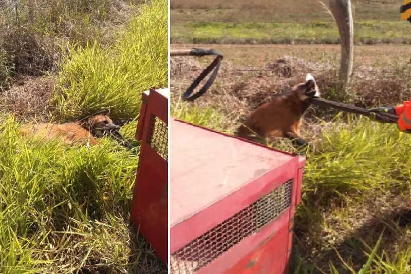Bombeiros resgatam lobo-guará ferido em rodovia no Sul de Minas