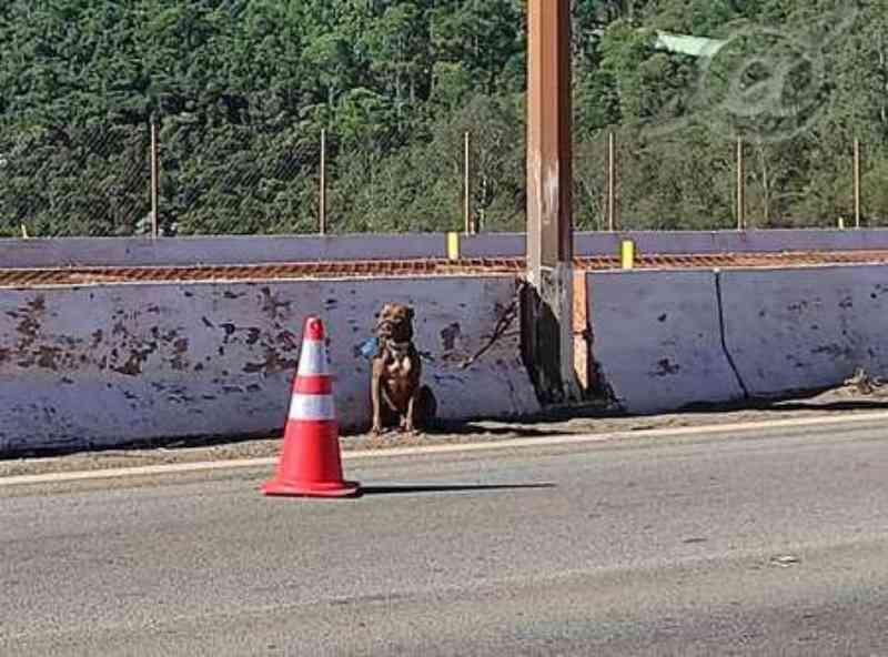 Pit bull é resgatado após abandono em rodovia de MG