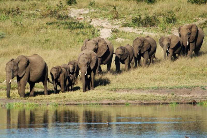 20 elefantes capturados após entrarem em zona residencial em Moçambique