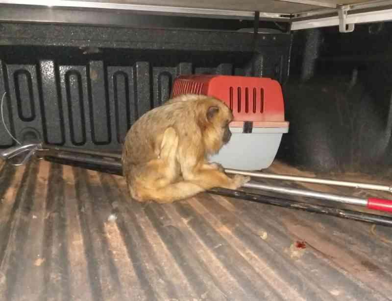 Macaco bugio é atropelado próximo de parque em Campo Grande, MS; motorista não prestou socorro
