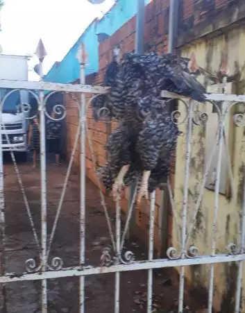 Animal empalado no portão, hoje de manhã (Foto/Arquivo pessoal)