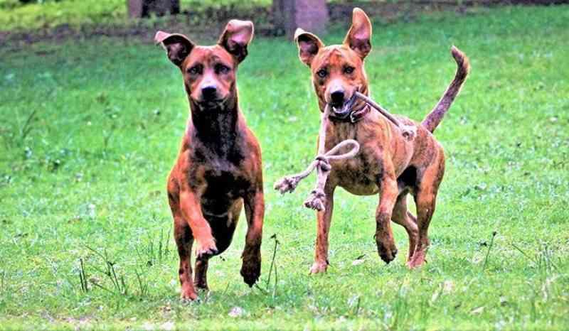 MS vai receber projeto piloto de encoleiramento em massa de cães para combater leishmaniose